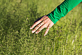 A woman's hand touching the tops of tall grasses