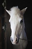 'Portrait of a white horse;Mijas malaga province costa del sol spain'