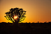 'Silhouette of a quiver tree (aloe dichotoma) at sunset;Namibia'