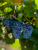 Agriculture - Mature clusters of red wine grapes on the vine / San Joaquin County, California, USA.