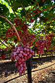 Agriculture - Clusters of mature, harvest ready, Crimson Seedless table grapes hang from the vines in late summer / Tulare County, California, USA.
