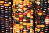 Agriculture - Closeup of mature ears of Indian corn / California, USA.