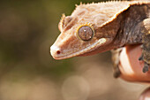 'Crested Gecko (Rhacodactylus Ciliatus); California, United States Of America'