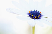 'Macro Shot Of A White Daisy With A Purple And Yellow Center Against An Out-Of-Focus White Background; California, United States Of America'