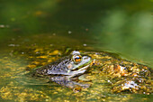 'Green Frog (Rana Clamitans Melanota), Gatineau Park; Quebec, Canada'