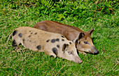 'Piglets Laying On The Grass; United Kingdom'