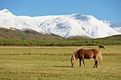 'Icelandic Horses; Nordur-Mulasysla, Eastern Fjords, Iceland'