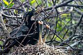 'Nesting Anhinga (Anhinga Anhinga) Feeding Baby, Wakodahatchee Wetlands; Florida, United States Of America'