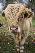 'Cow With Long Hair Over It's Face; Scottish Borders, Scotland'