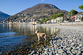 'A Dog Stands At The Edge Of Lake Como; Gera Lario, Lombardy, Italy'