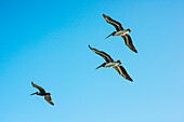 'Brown Pelicans (Pelecanus Occidentalis) In A Blue Sky; Ilwaco, Washington, United States Of America'