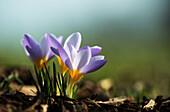 'Crocuses in bloom in springtime; Astoria, Oregon, United States of America'