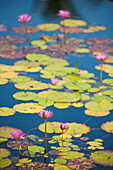 'Water lilies in bloom; Maui, Hawaii, United States of America'