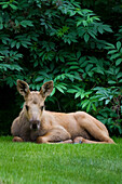 'Moose calf laying on the grass; Alaska, United States of America'