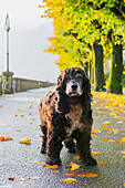 'Portrait of a dog standing on a wet path in autumn; Locarno, Ticino, Switzerland'