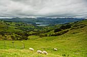 'Sheep grazing in a lush green field; Akaroa village, New Zealand'