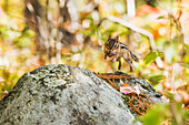'Chipmunk holding an acorn jumping from rock to rock, Algonquin Park; Ontario, Canada'