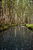 'Alder trees reflected in a tranquil pond; Washington, United States of America'