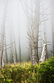'Fog in the forest at Ecola State Park; Cannon Beach, Oregon, United States of America'