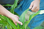 'Farmer touching the leaves of a corn plant; Preston, Maryland, United States of America'