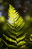 'A backlit fern frond; Northumberland, England'