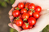'Close up of female hands cupped holding a handful of cherry tomatoes; Calgary, Alberta, Canada'