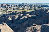 'Bighorn Sheep (Ovis canadensis), Badlands National Park; South Dakota, United States of America'