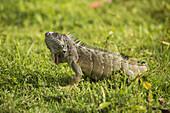 'Iguana on the grass; Grand Cayman'