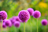 'Purple Allium flowers, Assiniboine Park; Winnipeg, Manitoba, Canada'