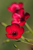 'Flax (Linum usitatissimum) blooms in a garden; Astoria, Oregon, United States of America'
