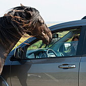 'A driver laughs as a horse stands at the open window of her car; Bonavista, Newfoundland and Labrador, Canada'