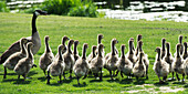 'A goose and goslings walking across a golf course, Hecla-Grindstone Provincial Park; Riverton, Manitoba, Canada'