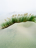 'Grass on the sand dunes with fog reducing visibility in the distance; Reedsport, Oregon, United States of America'