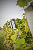 Weinreben im Weinanbaugebiet unterhalb Burg Hohenneuffen, bei Kirchheim Teck, Schwäbische Alb, Baden-Württemberg, Deutschland