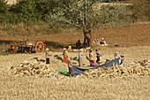 Peasants treshing grain on the way to Pindaya, Shan State, Myanmar, Burma
