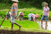 German women with Indonesian women in rice field, seedlings, planting, rice cultivation, contact with local people, intercultural, Tetebatu, Lombok, Indonesia