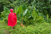 Woman with red rain cape admiring giant green leaves in a tropical jungle, Rarotonga, Cook Islands, South Pacific
