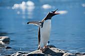 Penguin with open mouth, Danco Island, near Graham Land, Antarctica