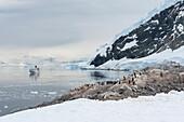 Pinguine auf Felsen in eisbedeckter Bergkulisse mit Expeditions-Kreuzfahrtschiff MS Hanseatic (Hapag-Lloyd Kreuzfahrten) auf Reede, Neko Harbour, Grahamland, Antarktis