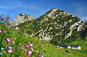 Cattle on alpine pasture, Buchstein and Rossstein in background, Schoenberg, Bavarian Prealps, Upper Bavaria, Bavaria, Germany