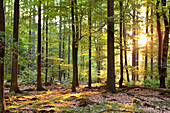Kellerwald forest with early morning sun rays shining through beech trees in Kellerwald-Edersee National Park, Odershausen, Bad Wildungen, Hesse, Germany, Europe