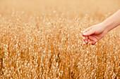 Hand touching ripe seeds in an oat field, Frankenau, Hesse, Germany, Europe