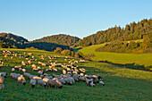 A flock of sheep on a meadow in Lengeltal valley in Kellerwald-Edersee National Park at sunset, Frankenau, Hesse, Germany, Europe