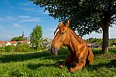 A brown horse resting underneath a tree in a meadow near the village of Frankenau in Kellerwald-Edersee National Park, Frankenau, Hesse, Germany, Europe