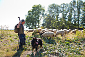 A shepherd and his dog watching over a flock of sheep, Armsfeld, Bad Wildungen, Hesse, Germany, Europe