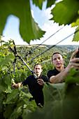 Vintners pruning vines, St. Goar, Rhineland-Palatinate, Germany