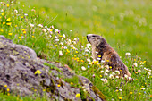 A marmot in a meadow, in summertime, with flowers, Rhemes valley, Aosta Valley, Gran Paradiso National Park