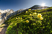 Alpine anemone on a grassland, in the light of early morning, with ridges in the background, Ferret valley, Aosta Valley