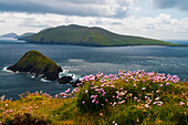 flowers in front of the ocean on the edge of Slea Head in the Dingle Peninsula, with ocean isles in the foreground