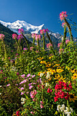Nice flowers with glaciers and peaks in the background, French alps